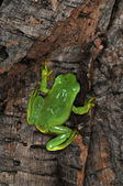 Frogs-52 — Stock Photo