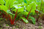 Beetroot plants in garden — Stock Photo
