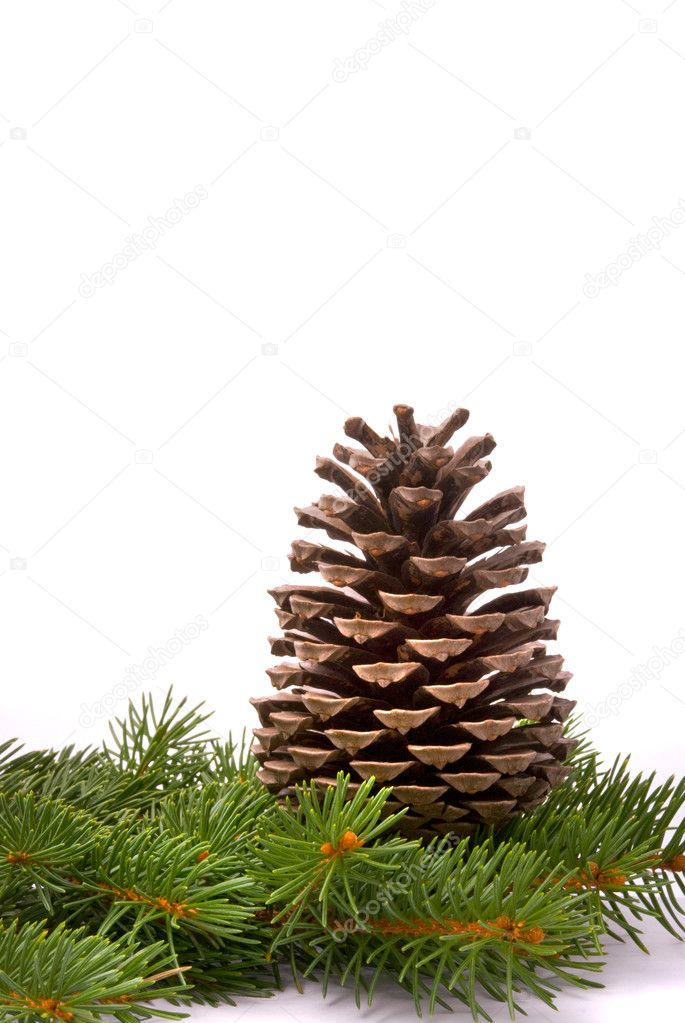 Branch with cone isolated on a white background  Stock Photo #1436441