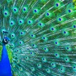 Beautiful peacock — Stock Photo #1503324