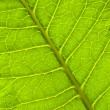 Royalty-Free Stock Photo: Green leaf macro