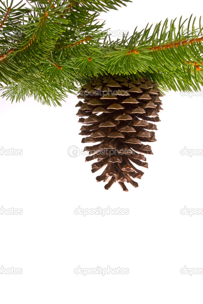 Branch with cone isolated on a white background   Stock Photo #1538832