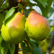 Juicy pears on tree — Stockfoto