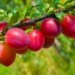 Excellent fruits of plum tree — Stock Photo #1567900