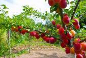 Excellent fruits of plum tree — Stock Photo