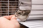 Dwarf hamster in a wheel — Stock Photo