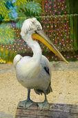 Dalmatian pelican in zoo — Stock Photo
