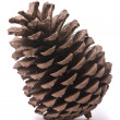 Front view of a pine cone -  