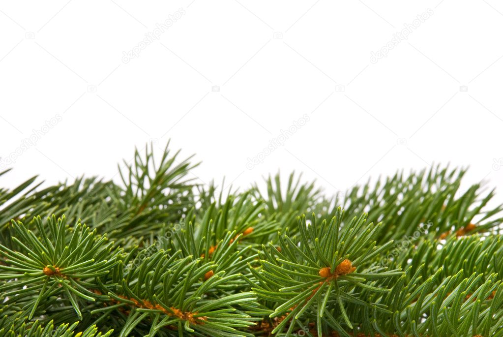 Close up of fir tree branch isolated on white — Stock Photo #1656760