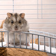 Dwarf hamster looking in camera — Stock Photo #1662538