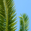 palm leaves against blue sky — Stock Photo