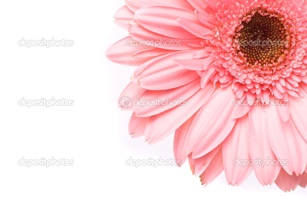 Pink gerbera flower on white background — Stock Photo #1744798