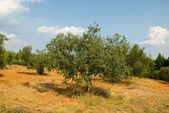 Greek olive grove — Stock Photo
