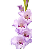Beautiful Gladiolus. Macro — Stock Photo