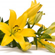 Yellow lily on a white background — Stock Photo
