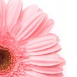 Pink gerbera flower on white background — Stock Photo