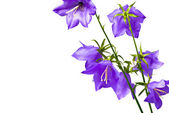 Beautiful bellflower on white — Stock Photo
