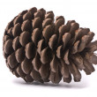 Photo: Front view of pine cone