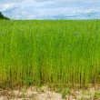Beautiful flax field — Stock Photo #2261036
