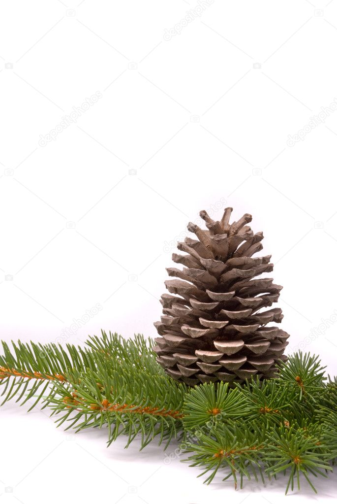 Branch with cone isolated on a white background — Foto Stock #2306547