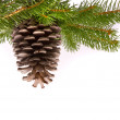 Branch with cone — Stockfoto