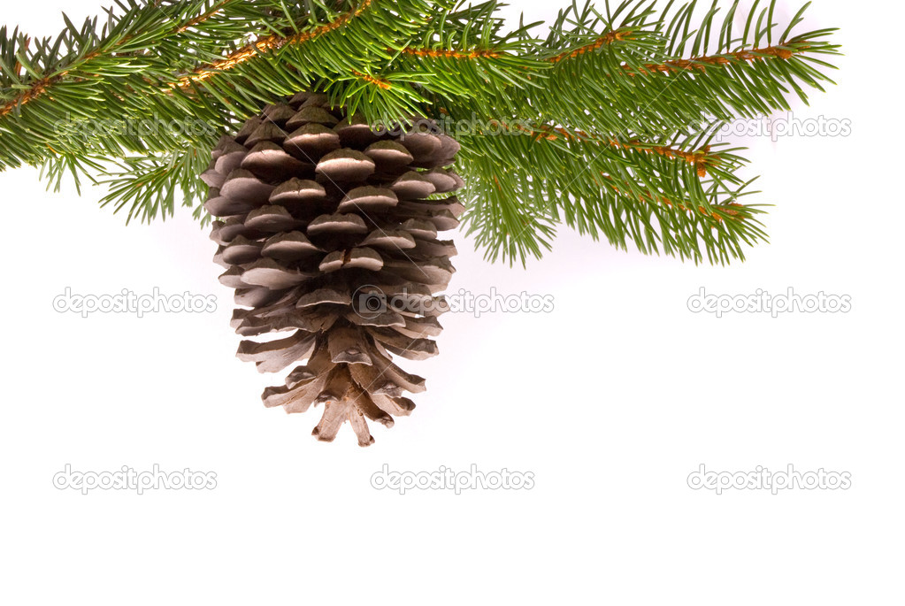 Branch with cone isolated on a white background — Stock Photo #2406256