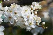 Albero in fiore meraviglioso — Foto Stock