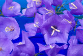 Bellflowers on blue water — Stock Photo