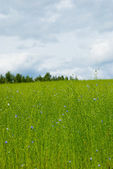 Beautiful flax field — Stock Photo