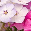 Stock Photo: Beautiful flowers with water drops