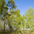 Sunny spring forest — Stock Photo #2467746