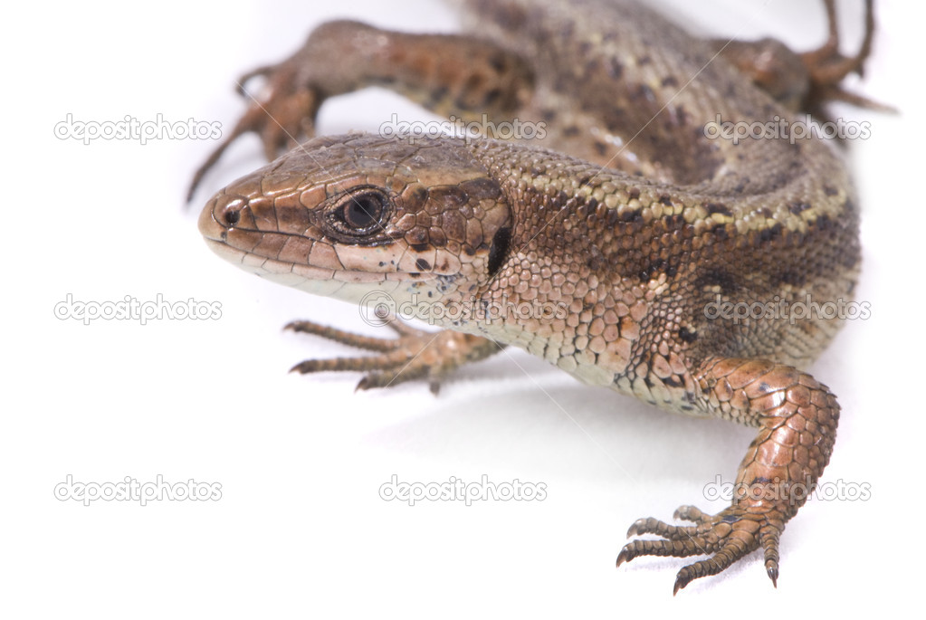 Lizard on white background, macro shot. — Stock Photo #2464943