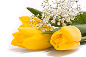 Yellow tulips on a white background — 图库照片