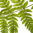 Fern — Stock Photo #2612990