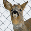 Deer behind a wire fence - Stock Photo