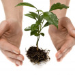 Stock Photo: Young plant in woman hand