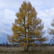 Autumn larch — Stock Photo #2649690