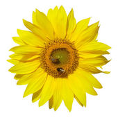 Sunflower isolated on white background — Стоковое фото