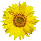 Sunflower isolated on white background — Stok fotoğraf