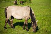 Wild horse (tarpan) — Stock Photo