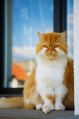 Sitting persian cat — Stock Photo