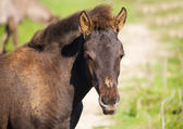 Foal of wild horse (tarpan) — Stock Photo