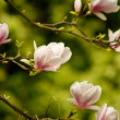 Blooming  magnolia — Stock Photo