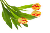 Three tulips — Stock Photo