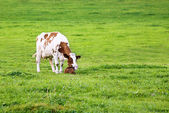 A cow and its newborn calf — Stock Photo