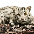 Wild tiger cat - Stock Photo