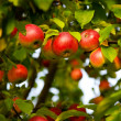 Apple tree — Stock Photo #1935994