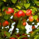 Manzano — Foto de Stock