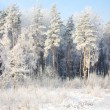 Foto Stock: Forest in time of ringing frost
