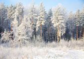 Forest in time of ringing frost — Stock Photo